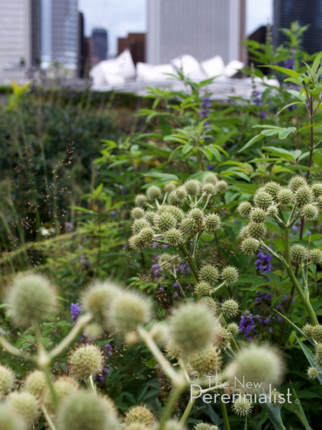 Eryngium yuccifolium takes in the view