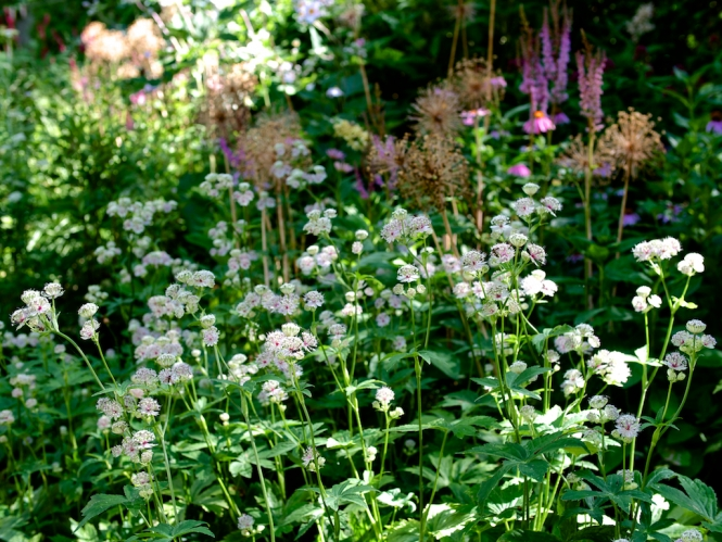 Astrantia major 'Sunningdale variegated' on show