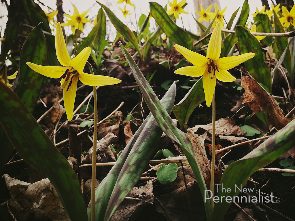 Sleeping Beauties In Search Of Spring Ephemerals The New Perennialist