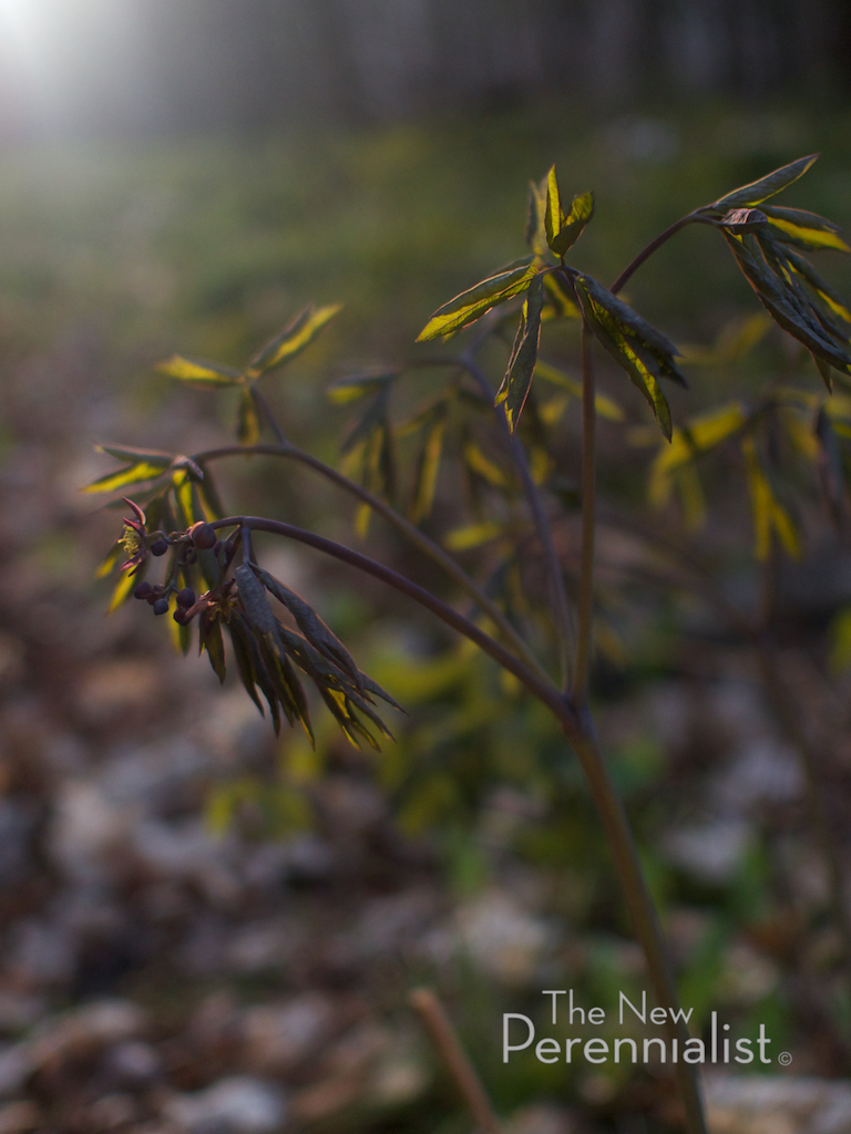 Sleeping Beauties: In Search of Spring Ephemerals | The New Perennialist